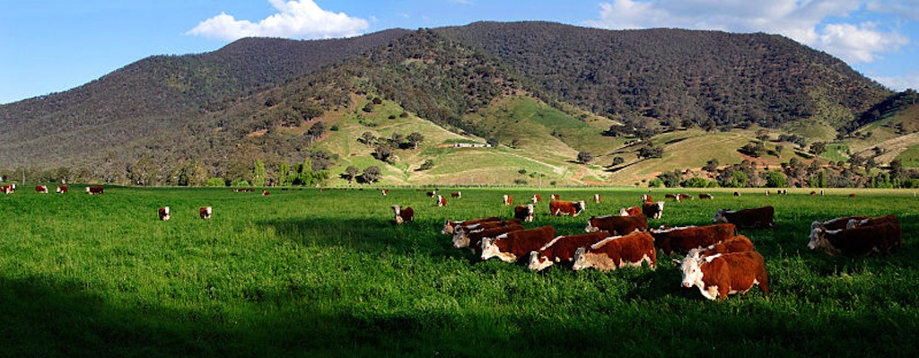 800px-Cows_in_green_field_-_nullamunjie_olive_grove03